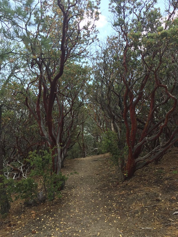 Manzanita bushes with rich red bark lining a path.